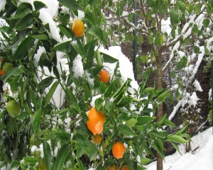 Oranges in snow