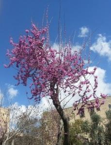 Jerusalem: blossoming tree
