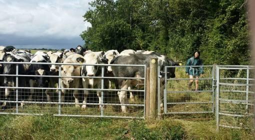 Cows13