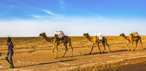 Camels carrying salt