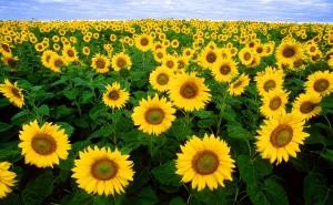 SunflowersInTuscany