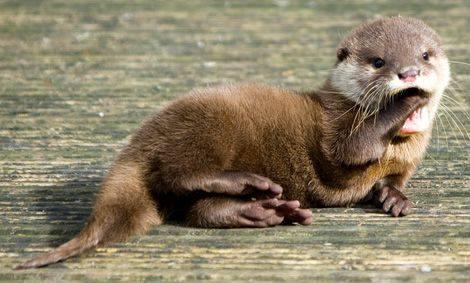 Anxious Otter